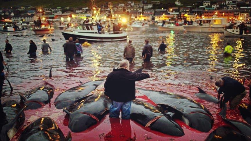 Matanza de los delfines calderones en Dinamarca