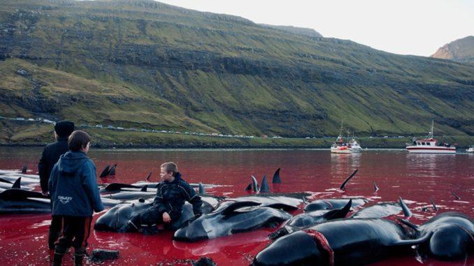 Matanza de los delfines calderones
