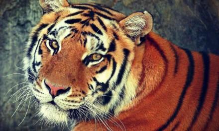 El Año del Tigre 2010 — Listo para dar el zarpazo