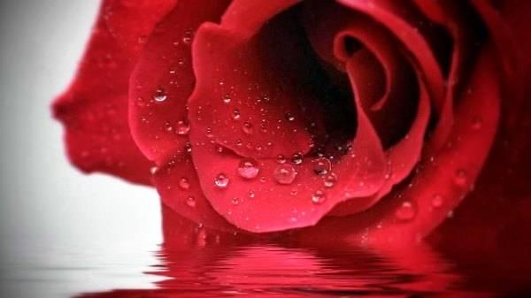 Propiedades y beneficios terapéuticos de las rosas