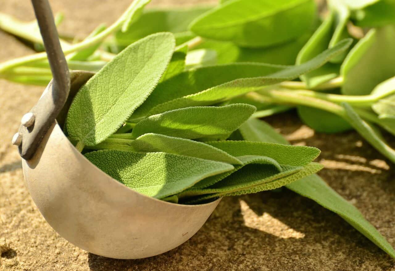 Salvia – La planta de la mujer