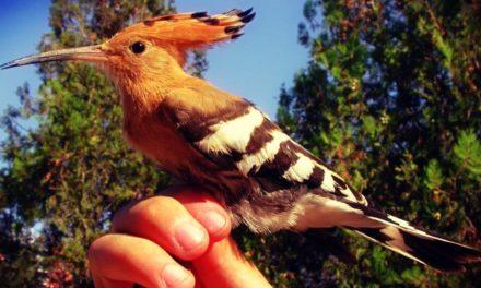 La Abubilla — Supersticiones de Aves