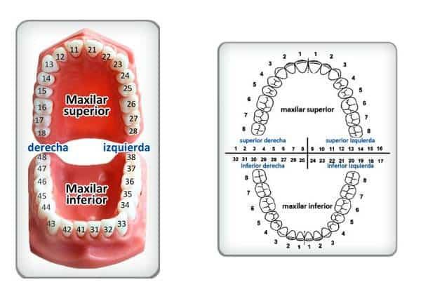 Descodificación dental — Significado de cada diente
